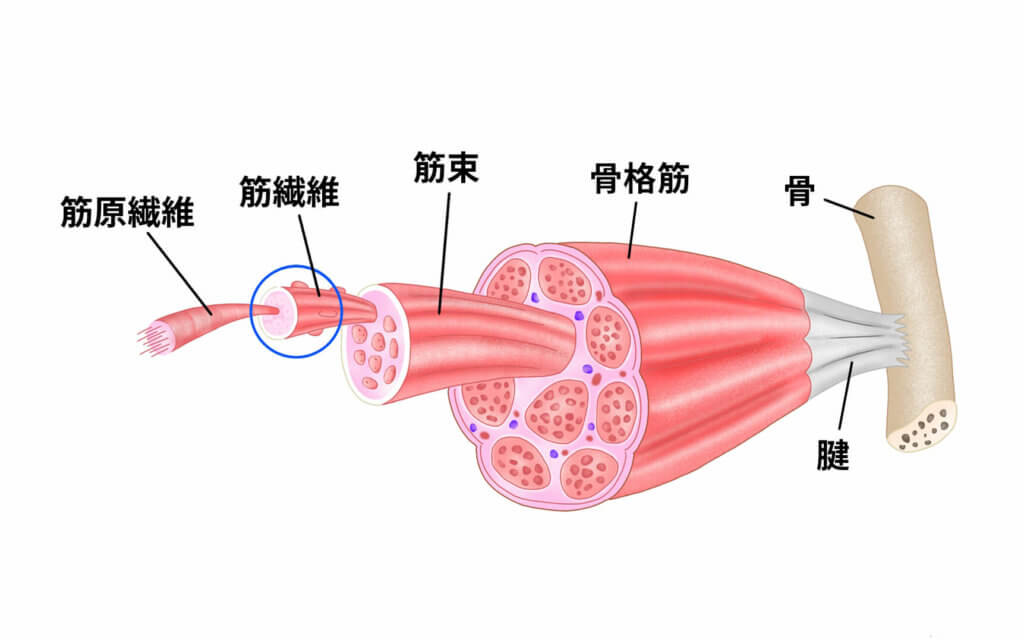 筋肉の構造とは?