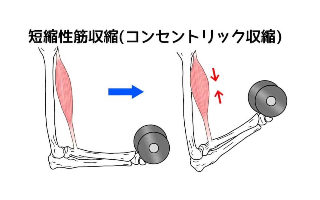短縮性筋収縮