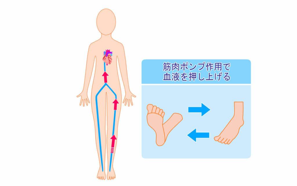 筋肉の効果6:冷え性の予防になる