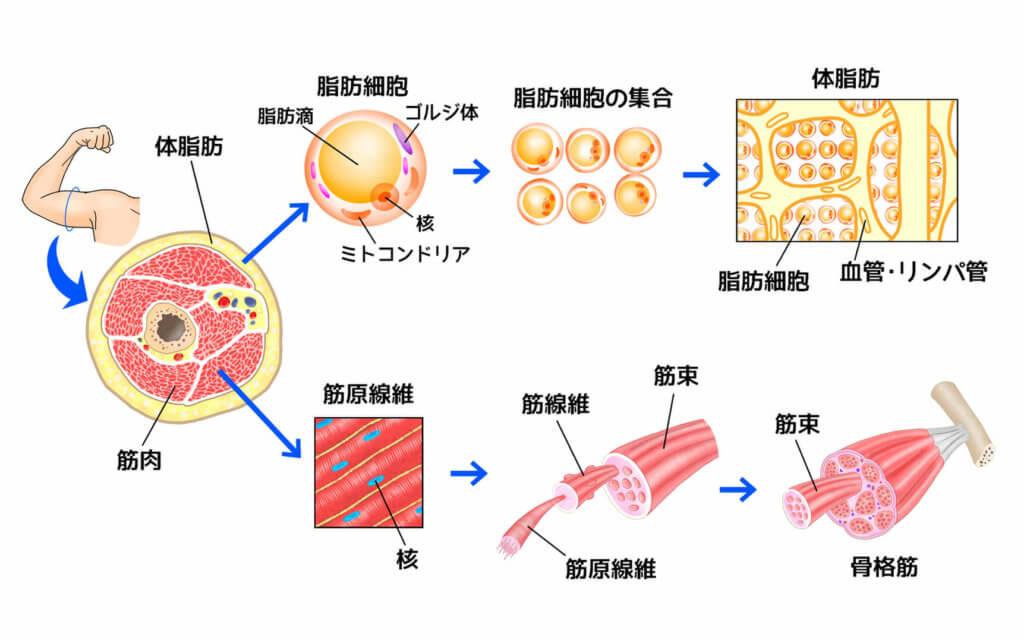 脂肪と筋肉の関係
