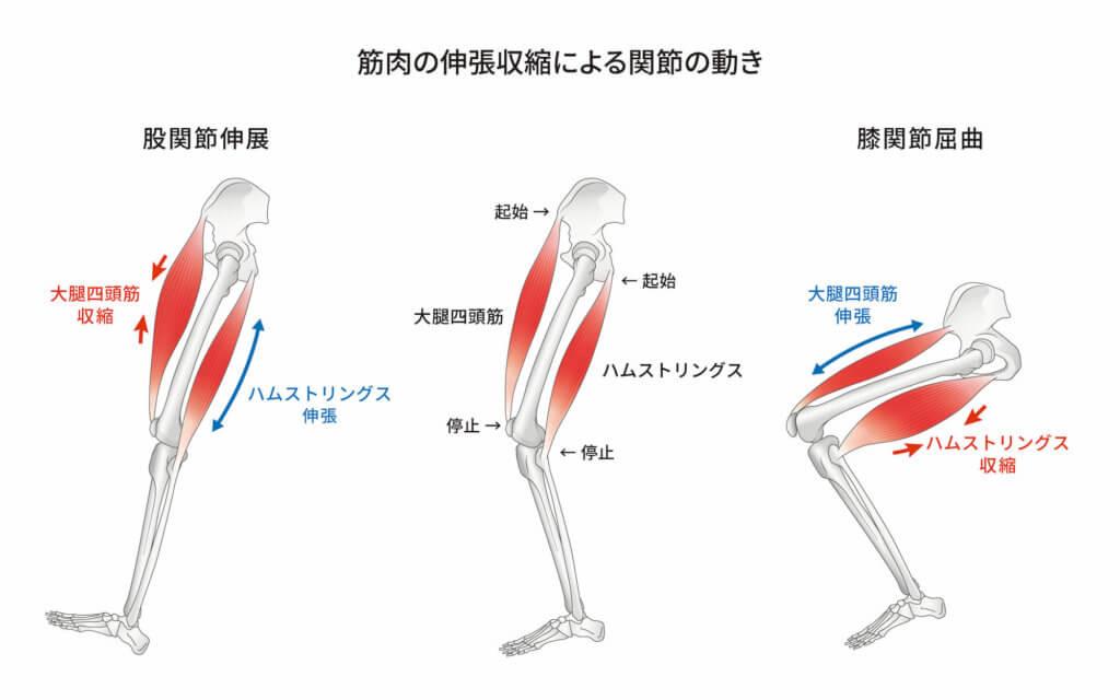 筋肉の働き1:身体を動かす