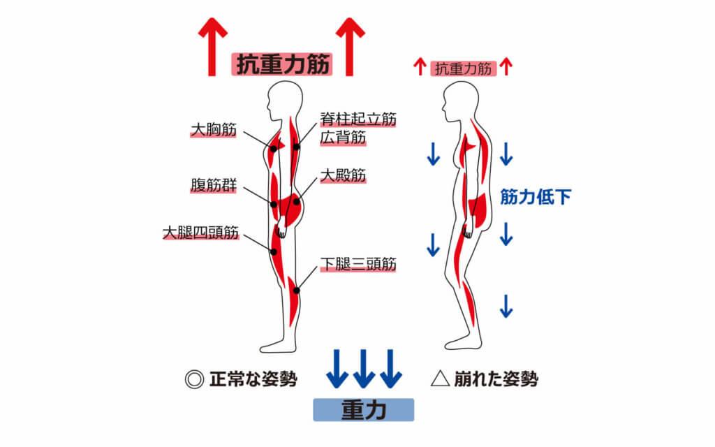 筋肉の働き2:姿勢を維持する