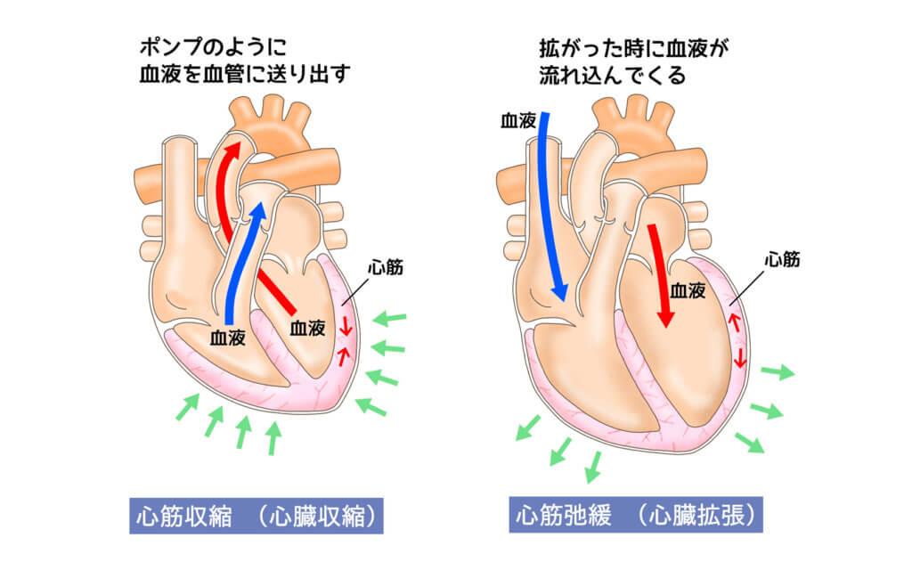 筋肉の働き5:心臓を動かす