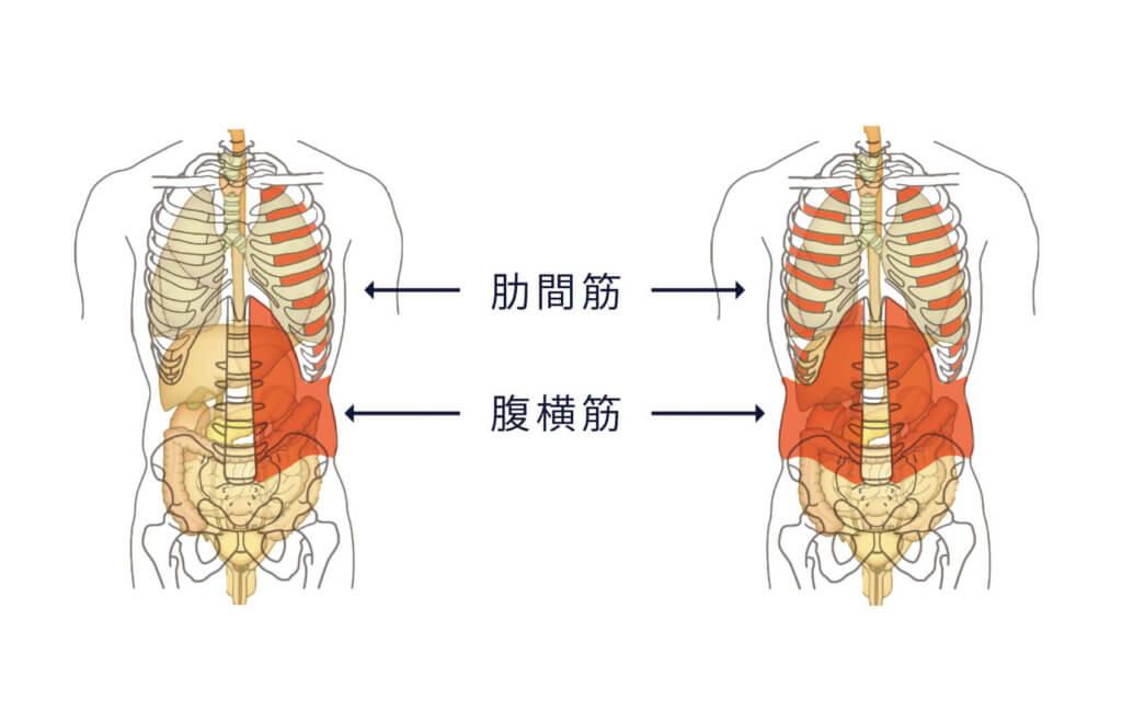 筋肉の働き6:臓器や骨の保護