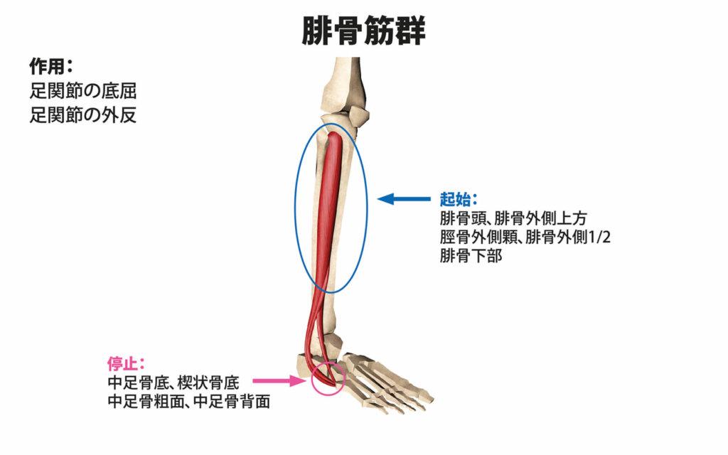 腓骨筋群(長腓骨筋、短腓骨筋、第3腓骨筋)