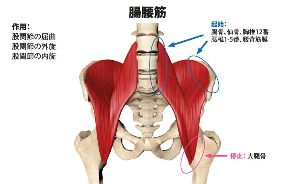 腸腰筋(大腰筋、小腰筋、腸骨筋)