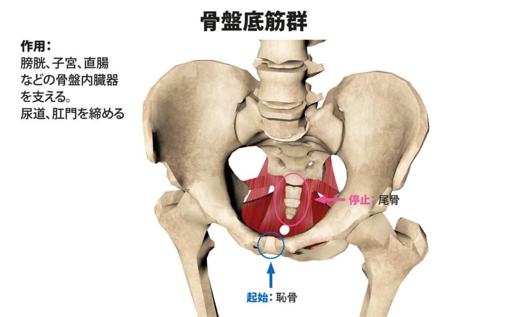 骨盤底筋群(外肛門括約筋、球海綿体筋、坐骨海綿体筋、浅会陰横筋、深会陰横筋、恥骨直腸筋、肛門挙筋)