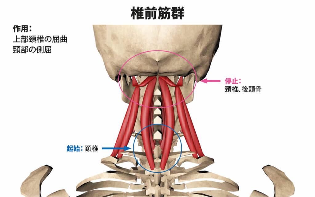 椎前筋群(頚長筋、頭長筋、前頭直筋、外側頭側筋)
