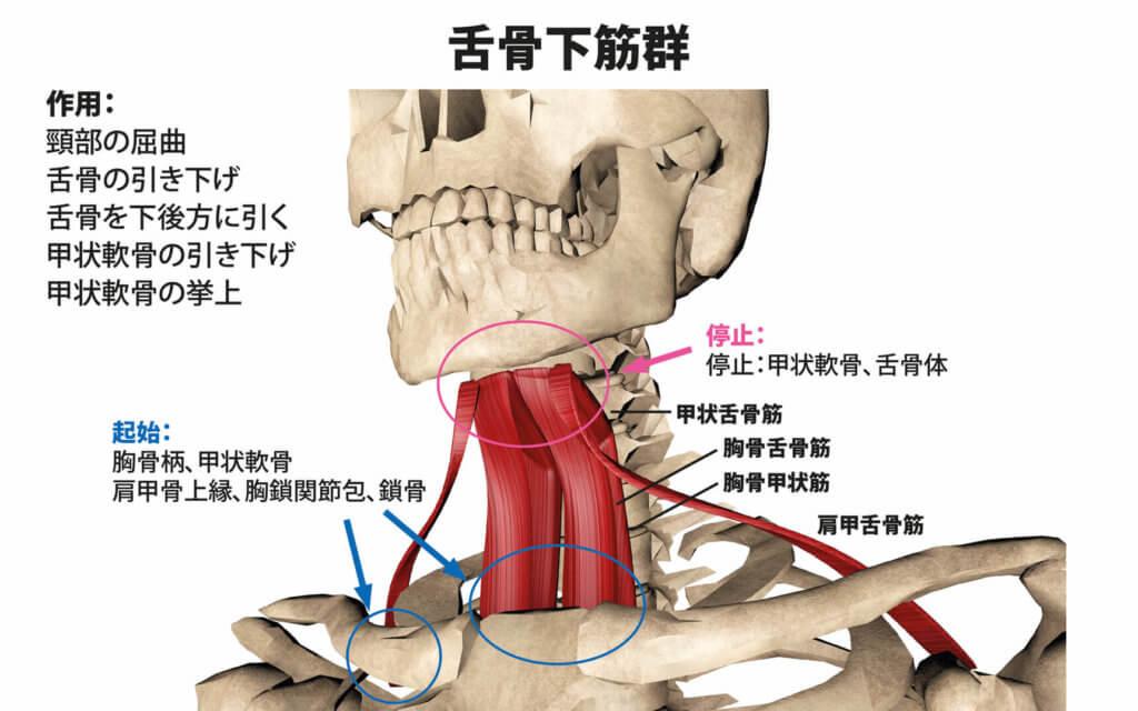 舌骨下筋群(胸骨舌骨筋,胸骨甲状筋,甲状舌骨筋,肩甲舌骨筋)