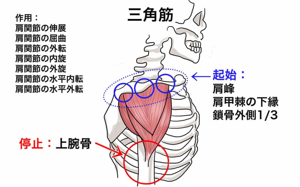 肩の筋肉の役割