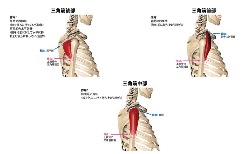 肩の筋肉の名前と働き