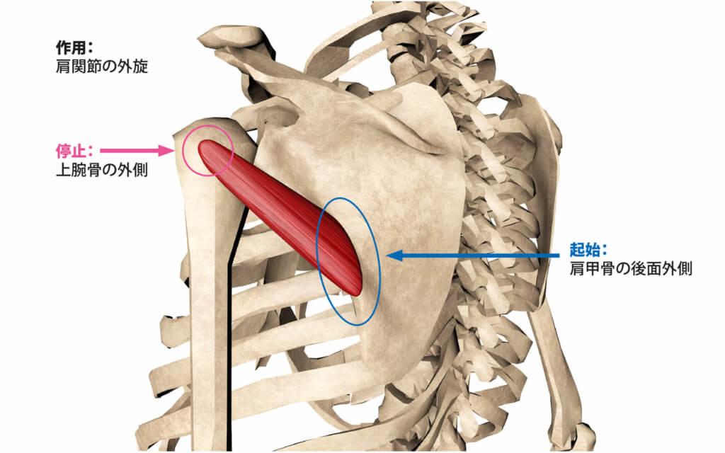 筋肉の部位の名称と作用【画像つきで分かりやすく解説】 | Sharezパーソナルトレーナー養成スクール