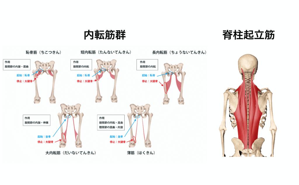 筋肉群まとめ8:O脚を直したい時