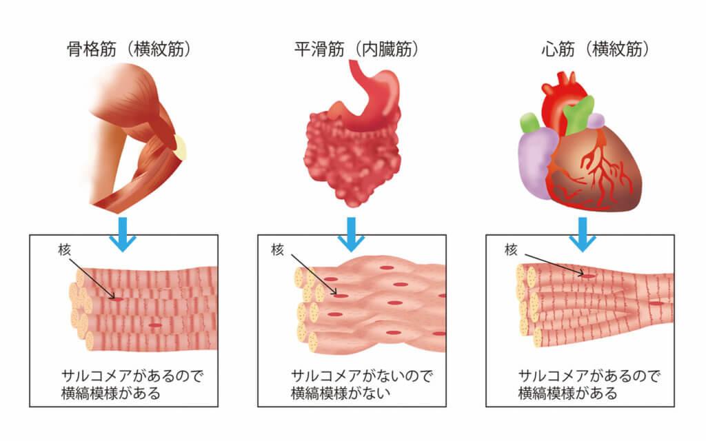 筋肉の種類の分類3:横紋筋と平滑筋