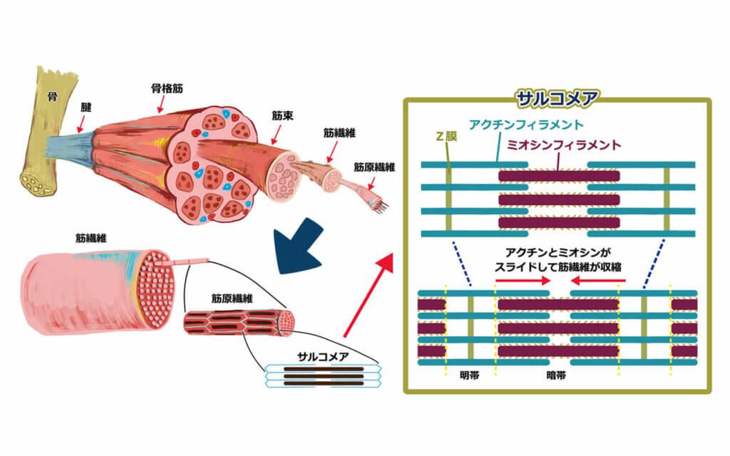 筋肉が収縮する仕組み