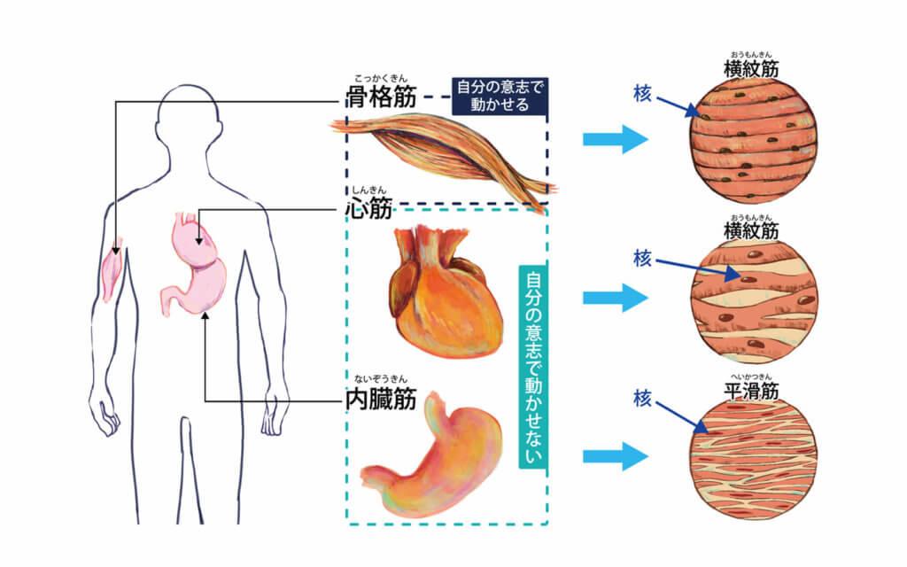 筋肉の種類の分類2:骨格筋と内臓筋