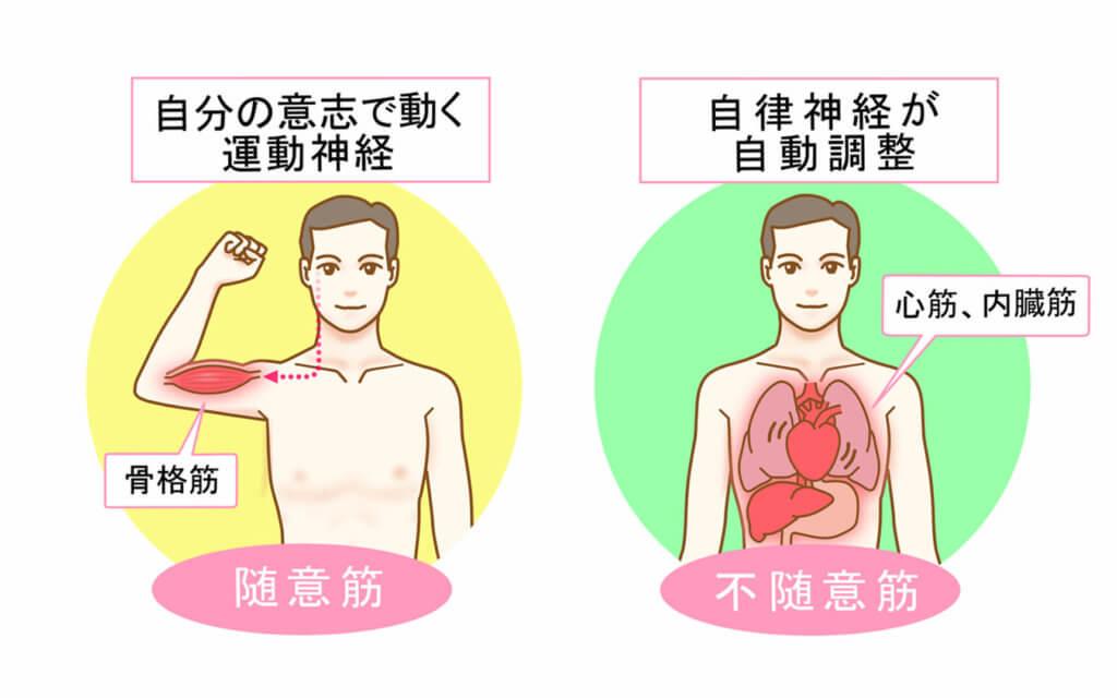 筋肉の種類の分類1:随意筋と不随意筋