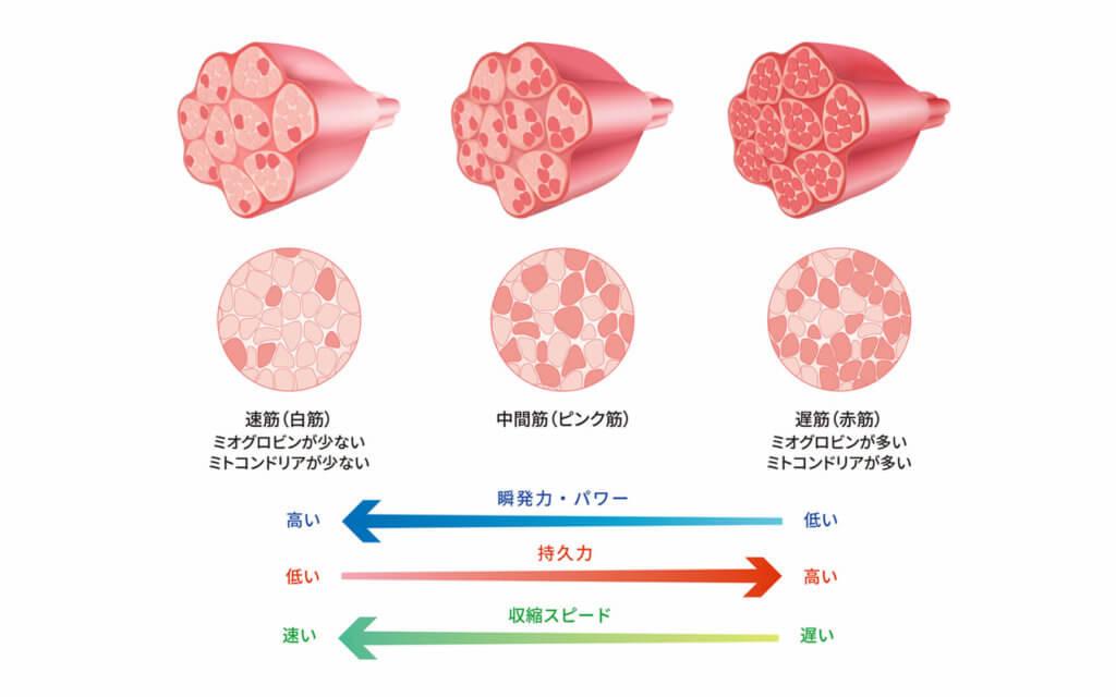 筋肉の種類の分類4:赤筋、白筋、ピンク筋