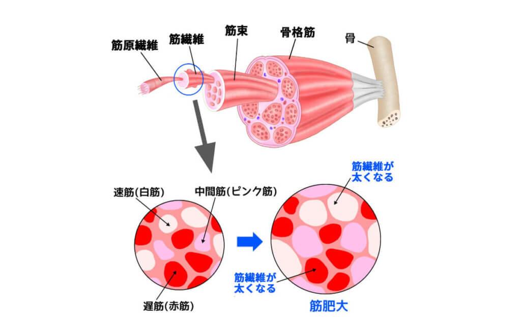 筋肉が増える仕組み