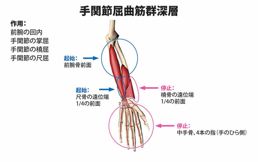 手関節屈曲筋群深層の筋肉