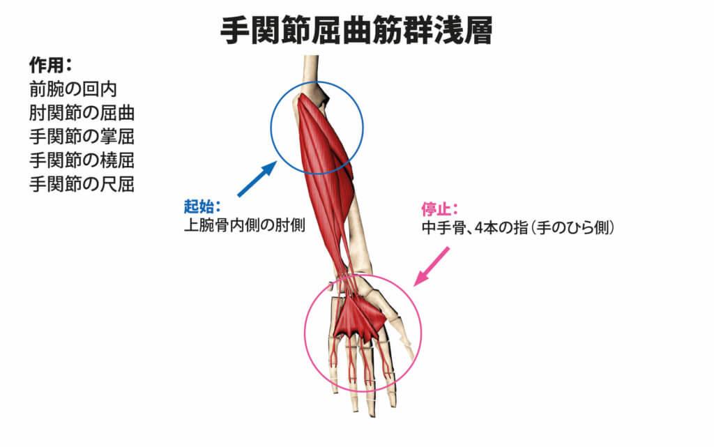 手関節屈曲筋群浅層の筋肉