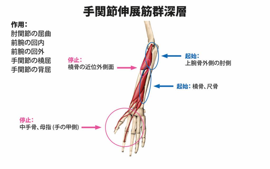 手関節伸展筋群深層の筋肉