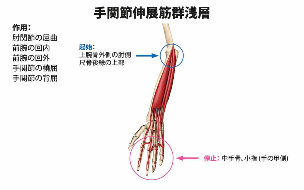 手関節伸展筋群浅層の筋肉