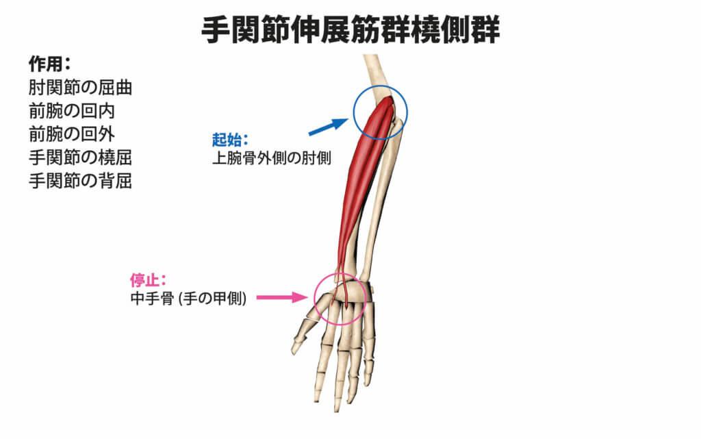 手関節伸展筋群橈側群の筋肉