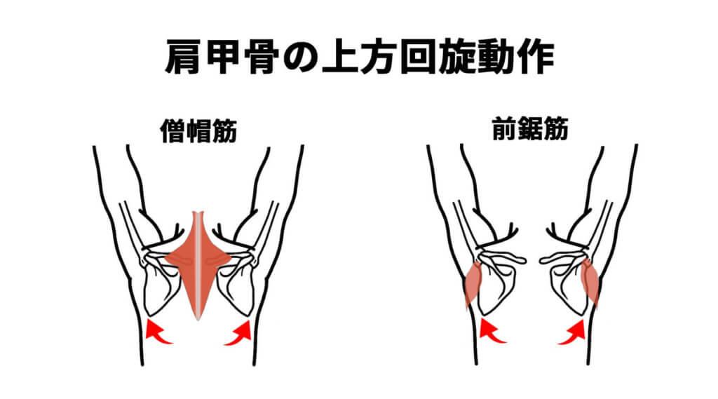 肩甲骨の上方回旋動作