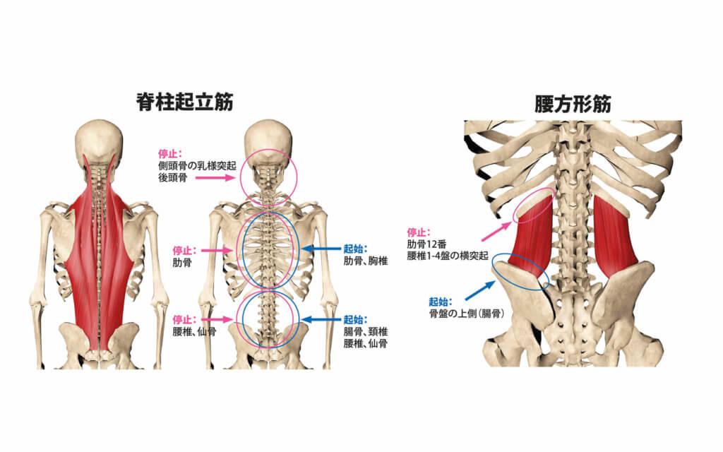 脊柱起立筋と腰方形筋