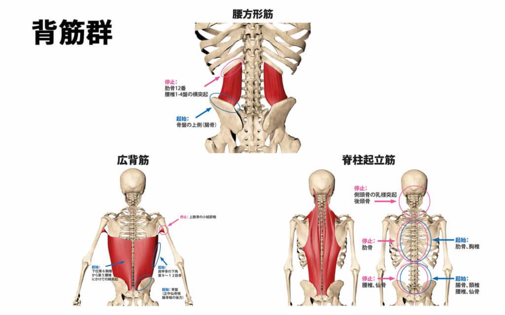 腰方形筋、広背筋、脊柱起立筋