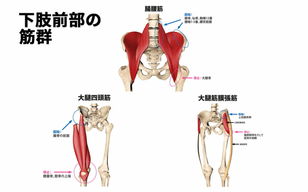 腸腰筋、大腿直筋、大腿筋膜張筋