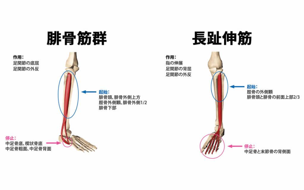 腓骨筋群と長趾伸筋