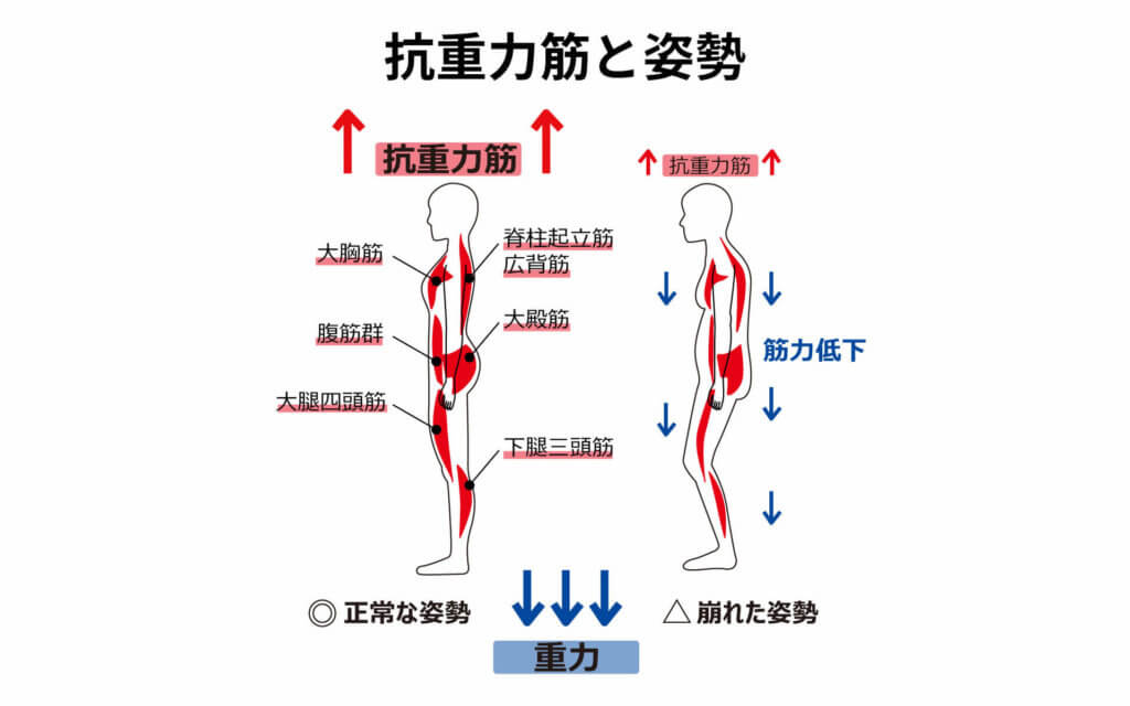 抗重力筋と姿勢